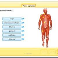 Recursos escolares: EL APARATO LOCOMOTOR - El esqueleto y los músculos 3º y 4º PRIMARIA